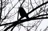 Saatkrähe, Foto: F. Karwinkel