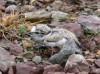 Flussregenpfeifer (pullus), Uentrop, 29.05.2014, Foto: W. Pott.