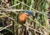 Eisvogel, Heessen, 06.07.16, Foto: A. Langer