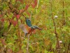 Eisvogel, RSG,15.08.2020, Foto: N. Pitrowski
